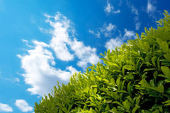 Hedge with Blue Sky Royalty Free Stock Photo