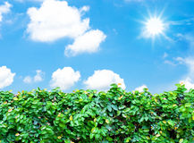 Hedge and  blue sky with sun beam Royalty Free Stock Images