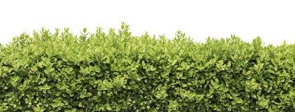 Hedge or bush isolated Royalty Free Stock Image
