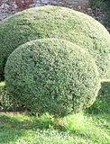 Hedge of bushes in a garden cut as big and fluffy pillows of lea Stock Photo