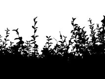 Hedge bw. Black uncut hedge over white background Royalty Free Stock Photos
