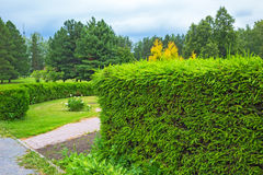 A hedge of clipped fir trees in the Central Siberian Botanical g Royalty Free Stock Photography