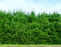 Hedge of clipped fir trees. Royalty Free Stock Photos