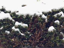 Hedge covered with snow. Natural fence covered with snow Royalty Free Stock Photo