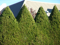 Hedge cut into shapes. Tall green hedge forming a wall cut in a sharp triangle edge on top Royalty Free Stock Photography