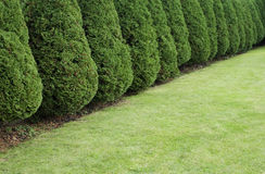 Hedge of cypress trees Stock Images