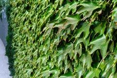 hedge ` Da hera de Boston do `, ` selvagem das uvas do ` em uma cerca concreta imagens de stock royalty free