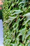 hedge ` Da hera de Boston do `, ` selvagem das uvas do ` em uma cerca concreta fotografia de stock