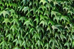 hedge ` Da hera de Boston do `, ` selvagem das uvas do ` em uma cerca concreta fotos de stock