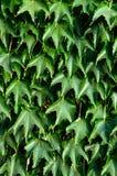 hedge ` Da hera de Boston do `, ` selvagem das uvas do ` em uma cerca concreta imagem de stock