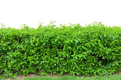 hedge fence or Green Leaves Wall  on white background Stock Photography