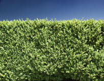 Hedge in front of blue sky. Green hedge with blue sky in the back Stock Photos