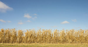 Hedge of Golden Bamboo Against Blue Sky.. Stock Images