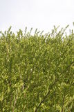 Hedge Green Barrier Royalty Free Stock Images