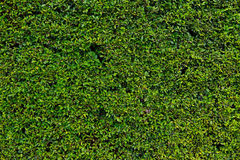 Hedge with green leafs Stock Photos