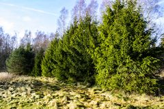 A hedge of green spruces growing in the nature. A green hedge of big evergreen fir trees in the Swedish landscape. Spruces growing in a line, yellow grass on royalty free stock photography
