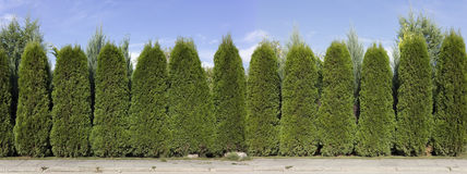 Hedge from green  thuja trees Royalty Free Stock Photo