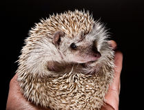 Hedge hog in hand Royalty Free Stock Photos