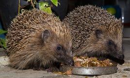 Hedgehogs feeding Stock Photo