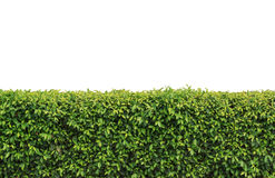 Hedge isolated. Green hedge or Green Leaves Wall on isolated Royalty Free Stock Photo