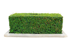 Hedge isolated. Green hedge or Green Leaves Wall on isolated Royalty Free Stock Image