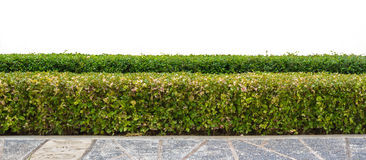 Hedge isolated. Hedge or Green Leaves Wall isolated Royalty Free Stock Photo