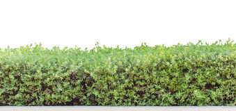 Hedge isolated. Hedge or Green Leaves Wall isolated Royalty Free Stock Photography