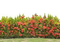 Hedge isolated Stock Images