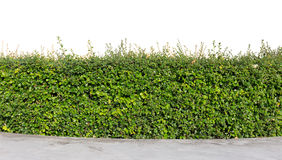 Hedge isolated. Green hedge isolated on white background Stock Image