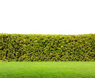 Hedge isolated. Green hedge isolated on white background Royalty Free Stock Photo