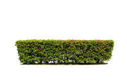 Hedge isolated. Green hedge isolated on white background Stock Photography