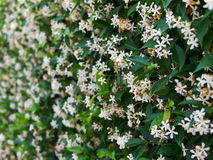 Hedge jasmine flower Royalty Free Stock Photo