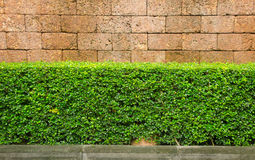 Hedge with laterite brick wall background Royalty Free Stock Photography