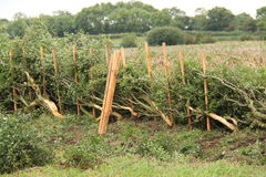 Hedge Laying. Stock Photos
