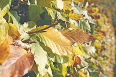 Hedge leafs Royalty Free Stock Photo