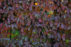 Hedge with leaves changing color Stock Images