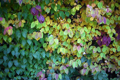 Hedge with leaves changing color Royalty Free Stock Photos