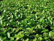 Hedge leaves - closeup shot Stock Photo