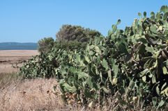 A hedge. Made of prickly pear cactus Stock Image