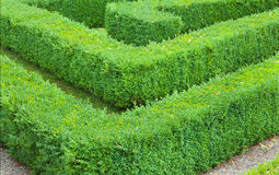 Hedge maze showing a corner detail. Section of a maze made from hedging Stock Photos