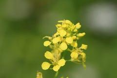 Hedge Mustard flower Stock Photo