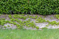 Hedge over an Ivy Covered Wall Stock Image