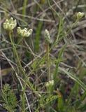 Hedge-parsley Stock Photo