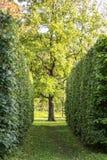 Hedge passage to the tree Stock Photo