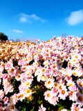 Hedge of pink flowers under a bright blue sunny sky Stock Image