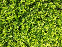 Hedge Plants Royalty Free Stock Image
