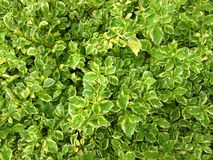Hedge Plants Stock Photo