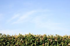 Hedge and sky background Royalty Free Stock Photo