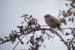 Hedge sparrow Royalty Free Stock Images
