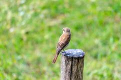 Hedge sparrow, Prunella modularis Stock Photo
